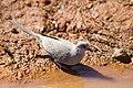Geopelia cuneata -Pilbara, Western Australia, Australia-8.jpg