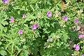 Geranium sylvaticum in Jardin Botanique de l'Aubrac.jpg