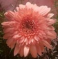 Gerbera flower light Red.JPG
