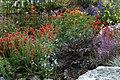 Geum-anthriscus-streptanthus-garden.jpg