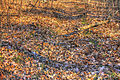Gfp-missouri-babbler-state-park-leaves-on-the-forest-floor.jpg