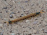 Giant Desert Centipede 2018-07-28 10-47-13 (43741145951).jpg