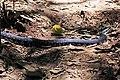 Giant hognose snake (Leioheterodon madagascariensis) Lokobe.jpg