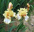 Giardino dell'iris, firenze, 2014, champagne waltz, 1° premio 1997.JPG