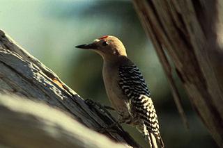 Gila woodpecker species of bird