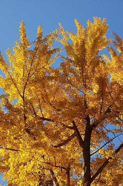 http://upload.wikimedia.org/wikipedia/commons/thumb/3/3a/Ginkgo_Tree_Ginkgo_biloba_Autumn_Leaves_Vertical_2000px.jpg/398px-Ginkgo_Tree_Ginkgo_biloba_Autumn_Leaves_Vertical_2000px.jpg