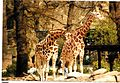 Giraffen Zoologischer Garten Berlin - Wildlife ^ Zoo Photography - panoramio.jpg