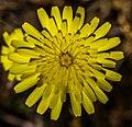 Glen Canyon area - more desert wildflowers - (20110926715).jpg