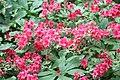 Glenn Dale Azalea (Rhododendron) Dragon (3574410191).jpg