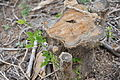 Gliricidia cut stump. 6655.JPG