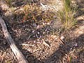 Glossodia major, Grevillea alpina, Leucopogon microphyllus and Drosera auriculata (5060838229).jpg