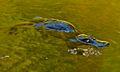 Gold Creek - platypus (5530941211).jpg