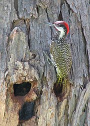 Golden-tailed Woodpecker.jpg