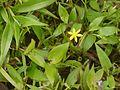 Golden Star Grass (3975937511).jpg
