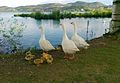 Goose Family at Kastoria Lake.jpg