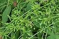 Goosegrass (Galium aparine), Loch Clunie - geograph.org.uk - 1505032.jpg
