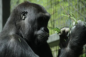English: Gorilla enclosure at Columbus Zoo and...
