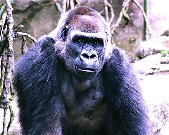 Brow ridge - Gorilla with a frontal torus