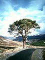 Granny Pine above Glen Lyon - geograph.org.uk - 1549589.jpg
