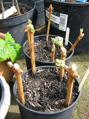 Propagation of grapevines - Young vine cuttings in a nursery.