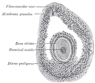 Cumulus oophorus - Section of vesicular ovarian follicle of cat. X 50. (Discus proligerus labeled at lower left.)