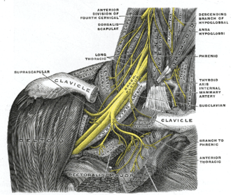 Dorsal scapular nerve - The right brachial plexus with its short branches, viewed from in front. (Dorsalis scapulae labeled at left, second from top.)