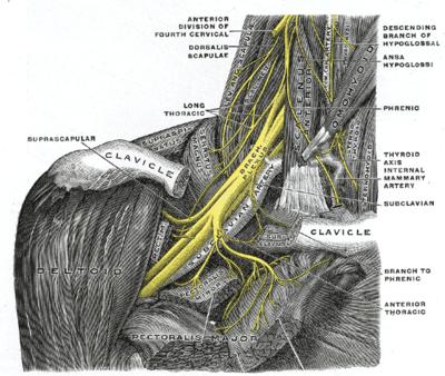 Nervio dorsal de la escápula - Wikiwand