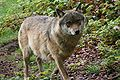 Gray Wolf Nationalpark Bayerischer Wald 04.jpg