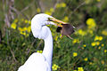 Great Egret v. Mouse, Berkeley Marina - Flickr - Joe Parks.jpg