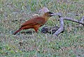 Great Rufous Woodcreeper (Xiphocolaptes major) foraging under cow pat ... (30786270063).jpg