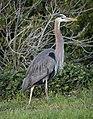 Great blue heron (61184).jpg