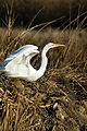 Great egret (6337870789).jpg