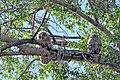 Great horned owlets (18654473570).jpg