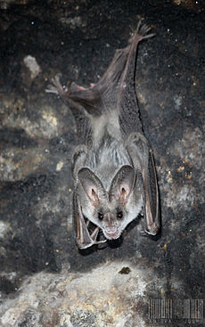Greater False Vampire Bat (Megaderma lyra).jpg