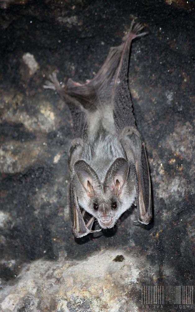 The average litter size of a Greater false vampire bat is 1