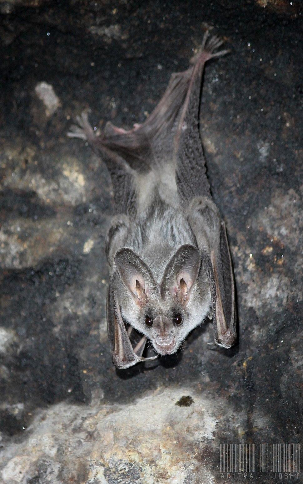 Greater False Vampire Bat (Megaderma lyra)