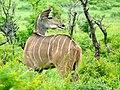 Greater Kudu (Tragelaphus strepsiceros) female ... (51132896861).jpg