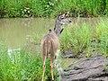 Greater Kudu (Tragelaphus strepsiceros) female ... (51139543198).jpg
