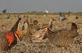 Greater Prarie Chicken From The Crossley ID Guide Eastern Birds.jpg