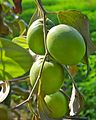 Green Apple Bor (Indian Plum).jpg