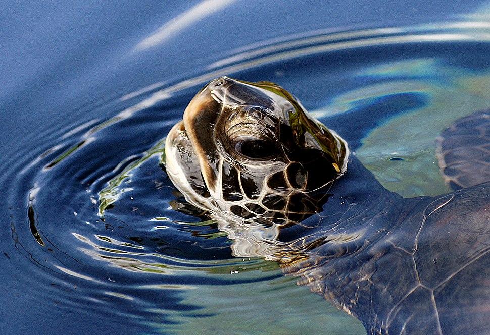 Green Sea Turtle, Maui
