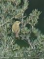 Greenish Warbler (Phylloscopus trochiloides) (31086966358).jpg