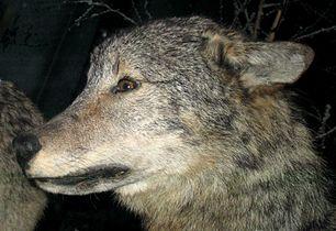 Grey Wolf 4.jpg