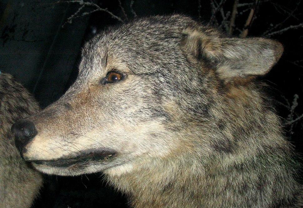Grey Wolf 4