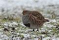 Grey partridge (47369484651).jpg