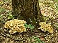 Grifola frondosa (23238640546).jpg