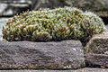 Grimmia ovalis tonemapped.jpg