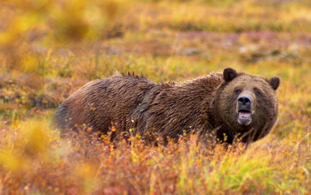 Einen bären aufbinden herkunft