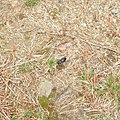 Ground Beetle - geograph.org.uk - 874822.jpg