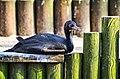 Guanokormoran (Phalacrocorax bougainvillii) - Weltvogelpark Walsrode 2012-01.jpg